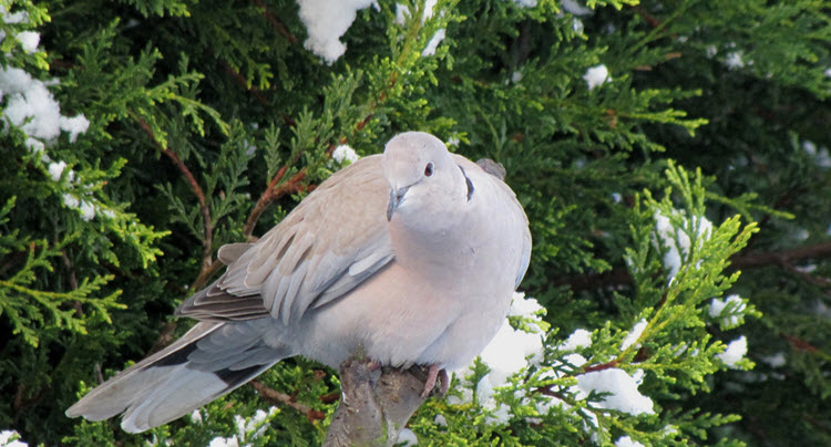 difference between doves and pigeons