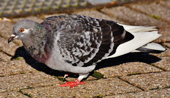 Common pigeon